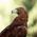 عقاب طلائي به اسم قوقو ( Golden Eagle )